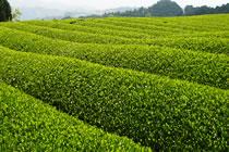 福岡の奥八女茶